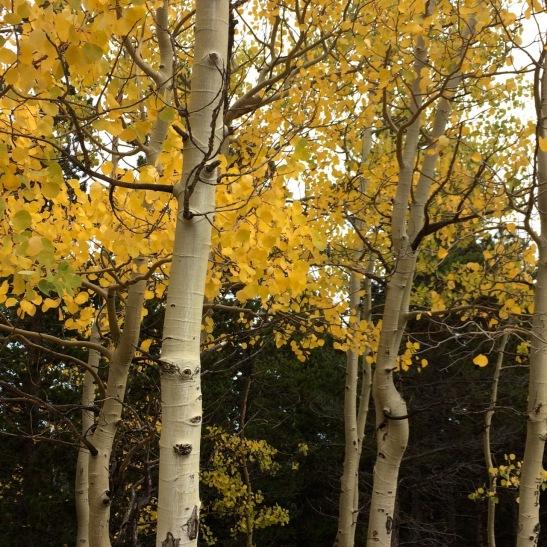 Colorado fall Colors, aspen trees, Aspen leaves